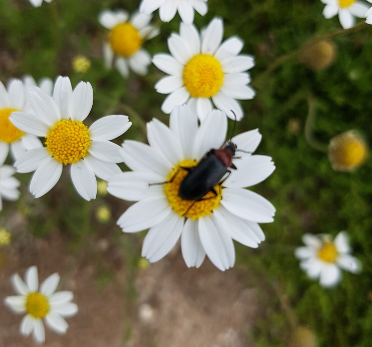 Los insectos son los principales depredadores del gamusino