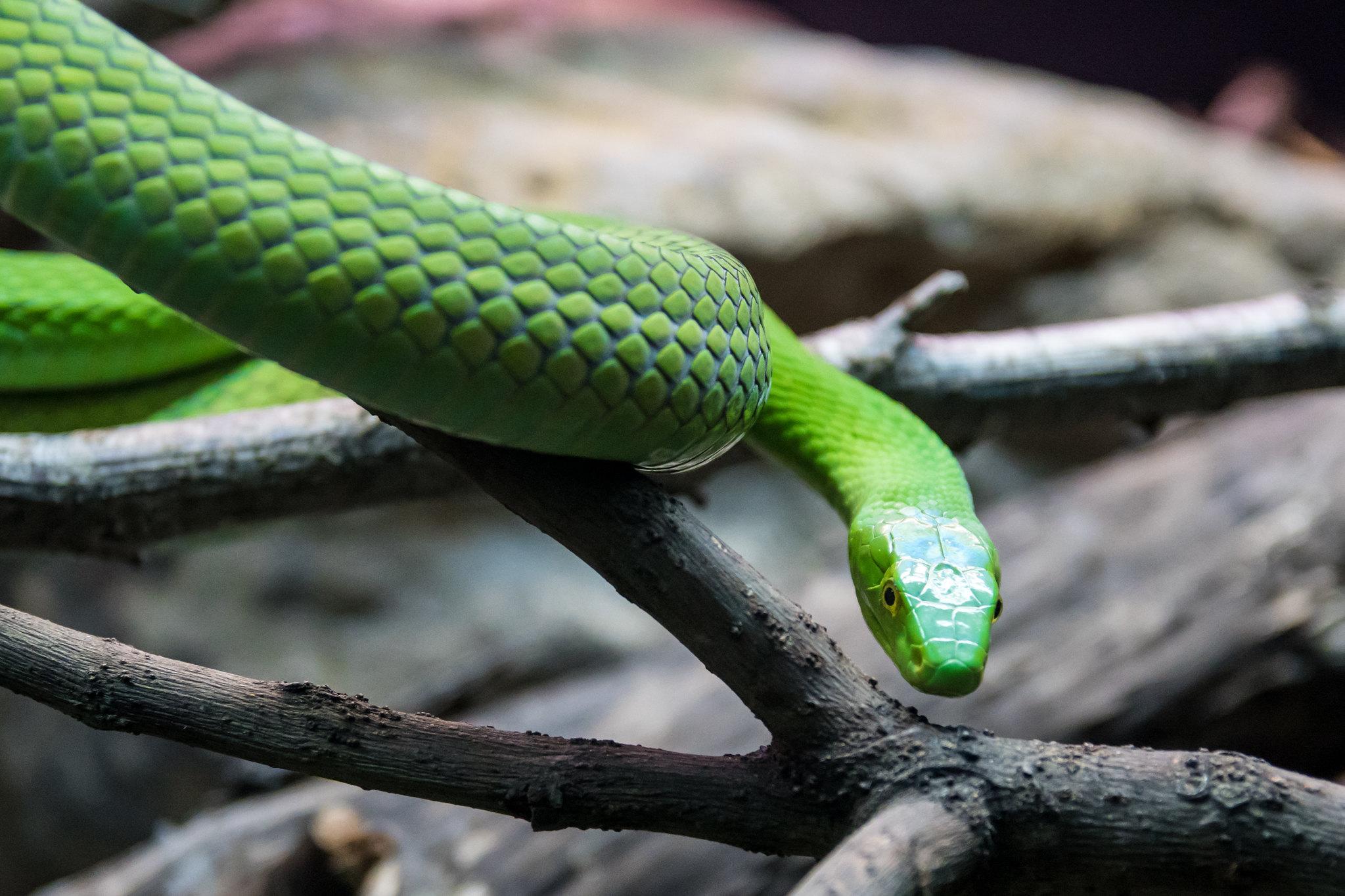 Las serpientes se han convertido en mascotas muy buscadas