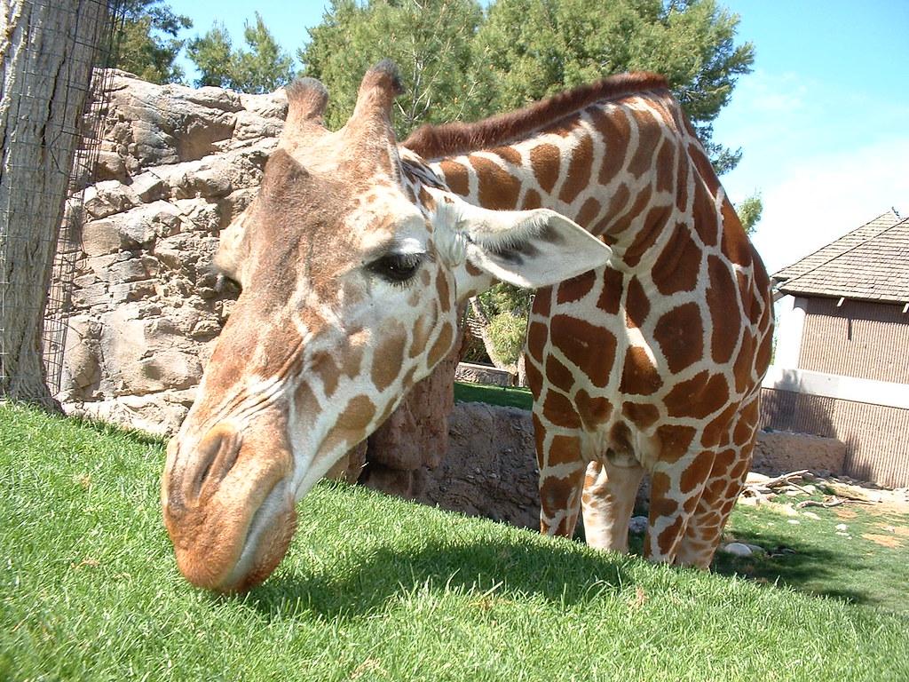 jirafa en zoológico
