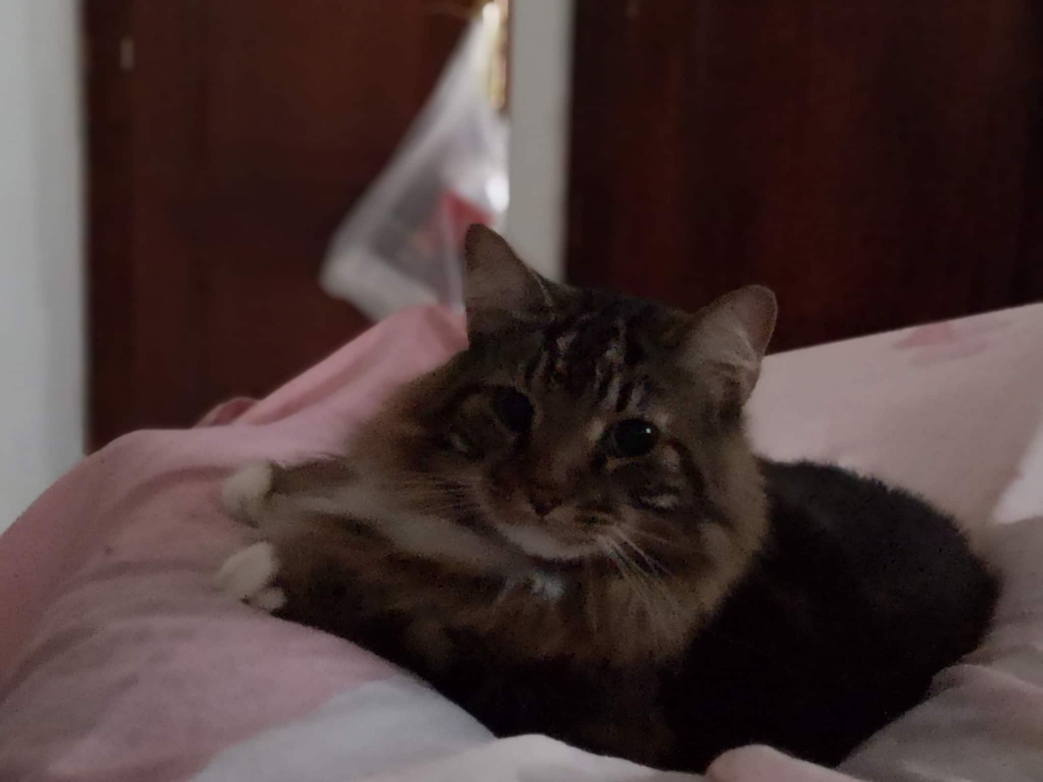 Gato identificado con chip